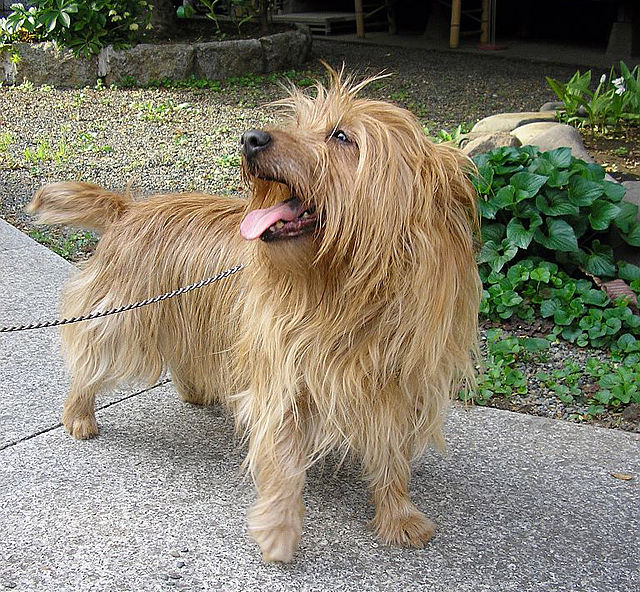 Australian Terrier Facts, Pictures, Price and Training ...