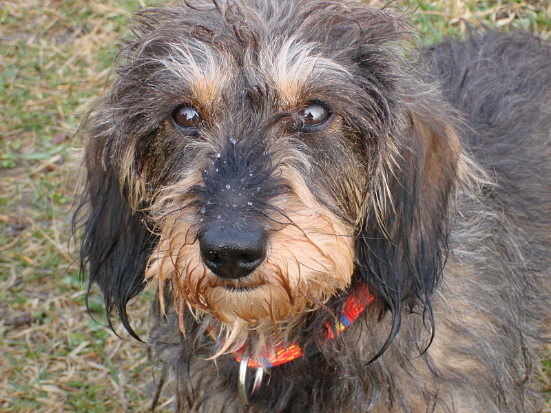 Wire haired Dachshund Facts, Pictures, Price and Training - Dog Breeds