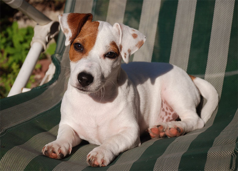 Jack Russell Terrier Smooth Facts Pictures Price And