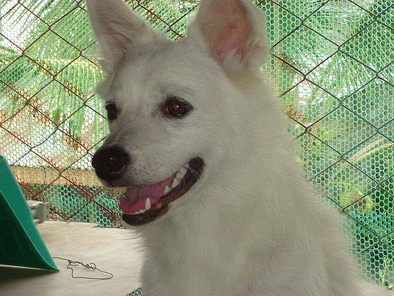 Japanese Spitz Facts Pictures Price And Training Dog