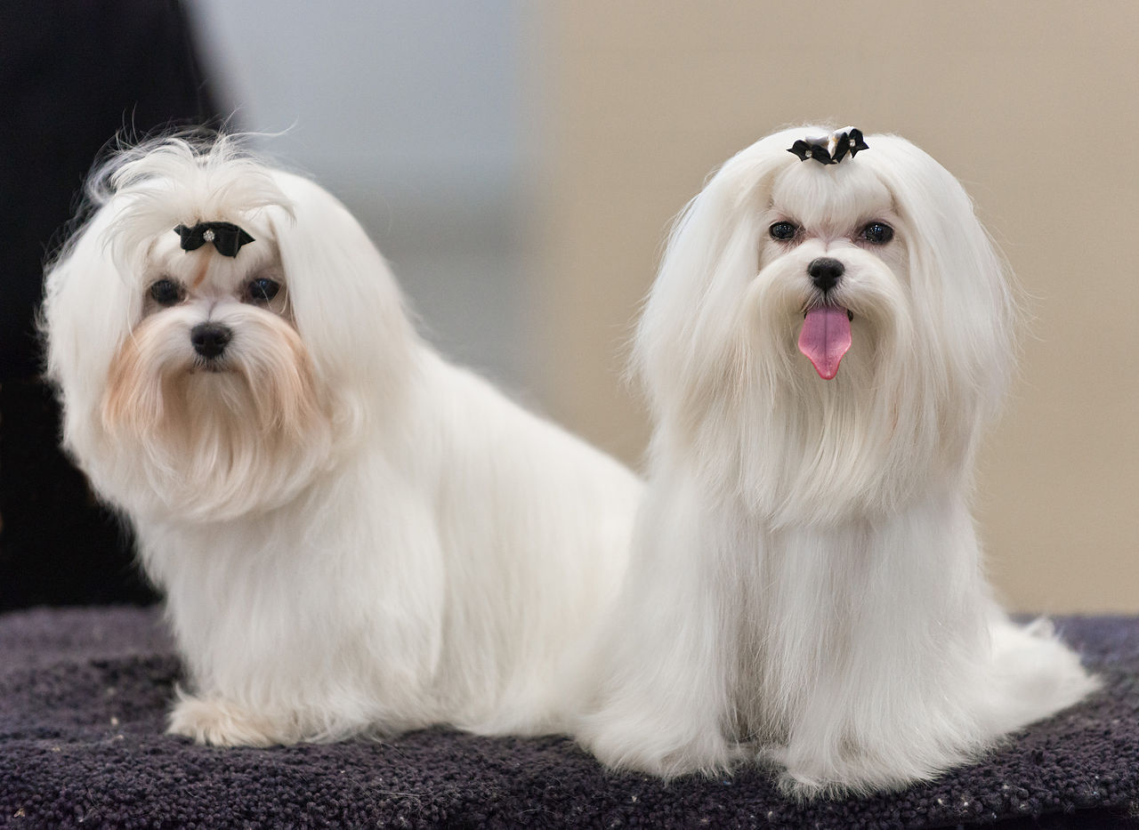 Maltese Facts Pictures Price And Training Dog Breeds