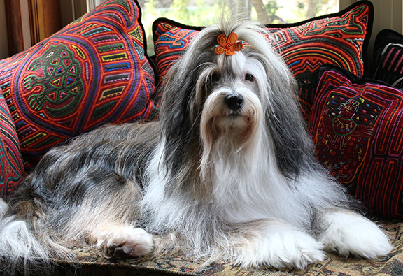 Tibetan Terrier Facts, Pictures, Price and Training - Dog ...